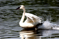 A swan takes off