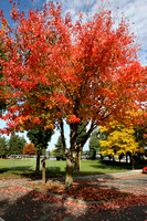 Red Maple in Park